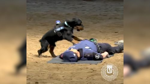 The dog rushes over to his handler who had pretended to collapse on the ground. Picture: Twitter/Madrid Police