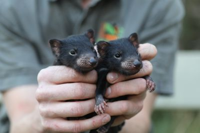"""The joeys now call the Australian Reptile Park homeand are being hand raised by Keeper Hewin Hochkins.""""I'm lacking a little sleep at the moment, feeding these guys every few hours is hard work, but I wouldn't change a thing!"""" said mammals Keeper Hewin Hochkins. """"They're already showing off their personalities and I'm excit"""