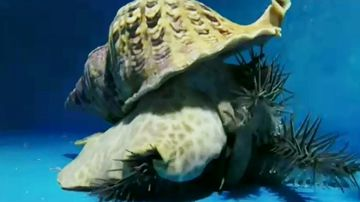 Giant snail to take on killer starfish in fight for the Great Barrier Reef