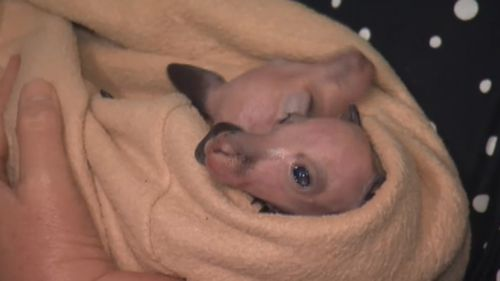 Andy and Zac weigh just 495 grams each; a light but mighty bundle of joy. (9NEWS)