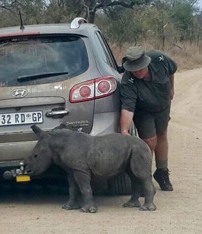 Scared orphaned baby rhino tries to adopt a car as its mother after it was killed