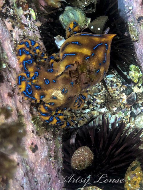 The blue-ringed octopus is one of the most venomous animals in the world