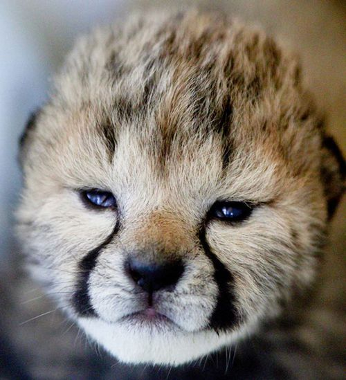 The Zoo welcomes five new Cheetah cubs. (Mark Dumont/ Cincinnati Zoo & Botanical Garden)