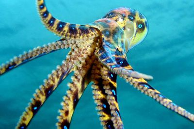 <p>Blue-ringed octopus</p>