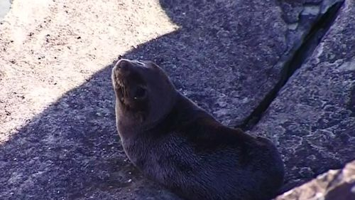 One of the seals at Sea World. (9NEWS)