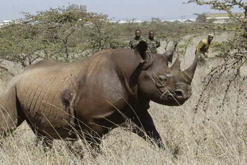 Black rhinos are critically endangered and vulnerable to extinction.