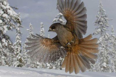 Snowbird by Edwin Sahlin