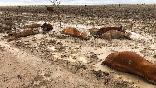 Many of the losses have also been felt in the state's north-west where previously drought-ravaged cattle and farmers were hit by the floods, leaving animals to starve and die.