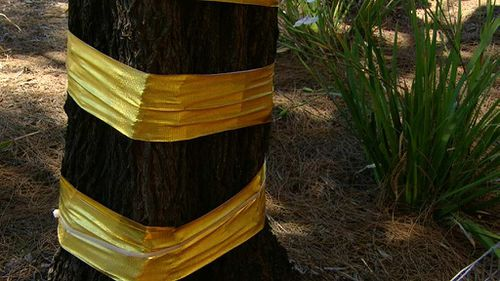 Trees in Sandringham and across Bayside have been wrapped in gold paper. (9NEWS)