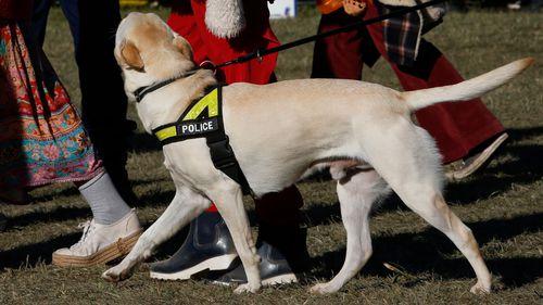A drug detection dog at Byron Bay's Splendour In The Grass festival.