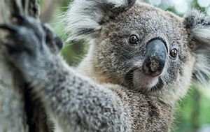 NSW Koala habitat to be cleared after Brandy Hill quarry expansion approved