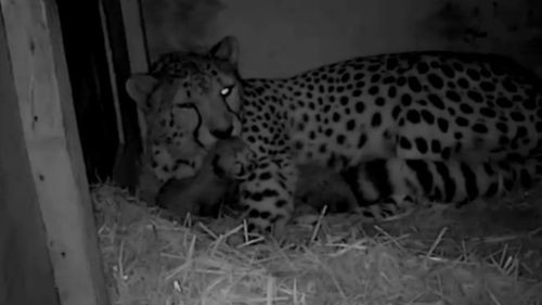 Four new cheetah cubs have been born in a South Australia zoo.