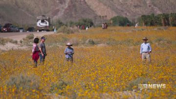 VIDEO: Desert wildflowers bloom following California's super storms