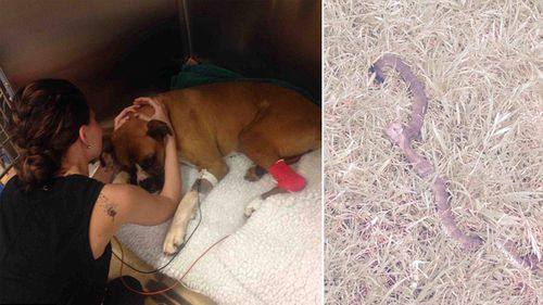Ms Shaw comforts ailing Mack; the tiger snake that attacked Mack lies dead in his owner's yard. (Jo Shaw/GoFundMe)