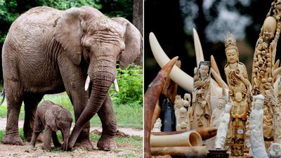 Ivory ban failing to stop African elephant slaughter