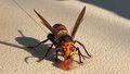 A murder hornet found in Washington State, USA.