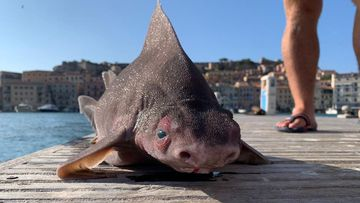 Naval officers discover odd 'pig shark' in Italian waters