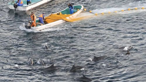 Over 100 bottlenose dolphins were herded into the cove. Desirable animals were selected for live capture.