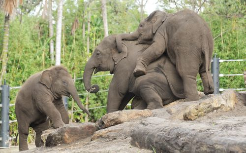 Tukta (left) was the third of six Asian Elephants born so far at Taronga Zoo as part of a breeding program.