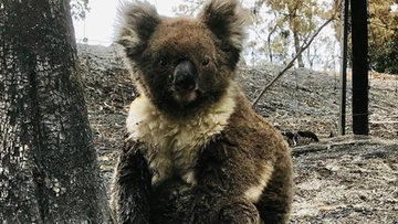 The team have noticed a number of koalas from the fireground are very traumatised.