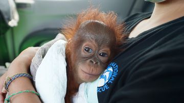 A seven-month-old baby orangutan rescued by the International Animal Rescue and Indonesian Nature Resources Conservation Agency (BKSDA). (AFP)