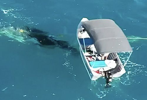 Whale calf in shark net, and fishing boat (supplied)