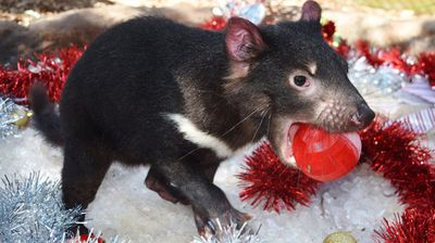 A pair of endangered Tasmanian Devils have been moved to an icy enclosure to escape Sydney's scorching temperatures. (Source: Australian Reptile Park)