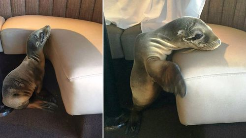 The sea lion pup was found to be severely underweight, dehydrated and suffering from an unidentified eye condition. (Facebook/Bernard Guillas)