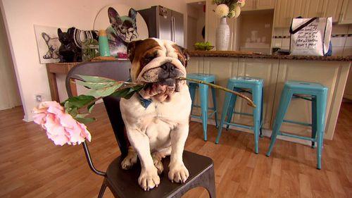Biggie is an Australian bulldog.