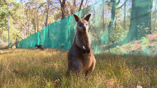 A wallaby near the Wirreanda Valley. (9News)