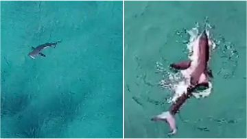 A drone sighted a large shark feeding off Bondi's shores yesterday morning.