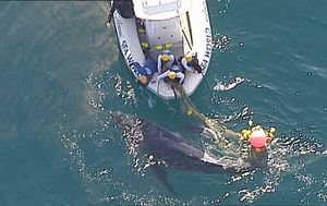 Newborn whale calf rescued from shark net off Gold Coast