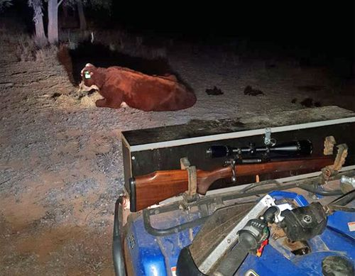 Mr Stevens and his partner stayed with the cow for hours, after which it made some small signs of recovery. (Photo: Aj Stevens)