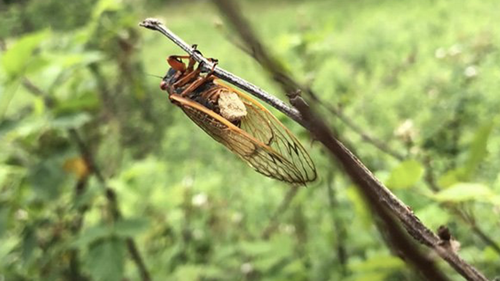 Cicadas are not a major pet, but have developed a bizarre lifestyle, according to WVU researchers.
