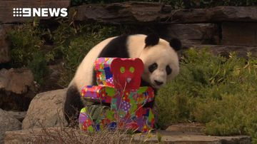 Pandas celebrate birthdays with cake, presents and a bubble bath