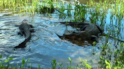 Ally the alligator returns to the water. (Image: Tim Faulkner/Australian Reptile Park)