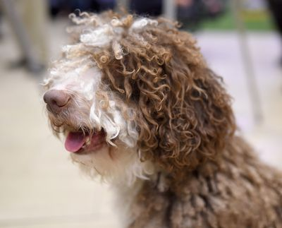 <strong>Spanish water dog</strong>