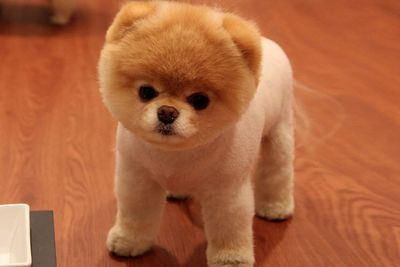 Boo the Pomeranian: Also a fashion icon of the animal world.