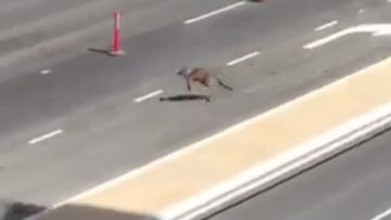 Brave roo bounces through cars on ten-lane road