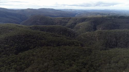 A project is underway in the NSW Blue Mountains to save the tree. Picture: 9NEWS