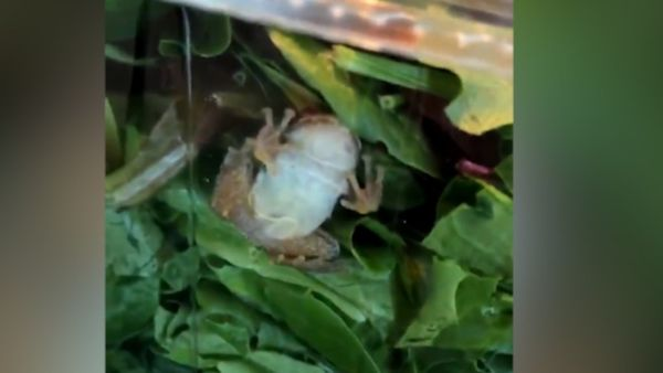 Live frog discovered in supermarket packet salad