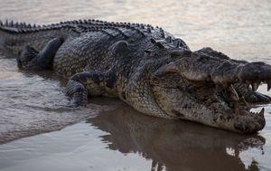 Crocodiles take over empty Mexican beaches