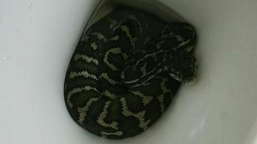 Queensland snake in toilet