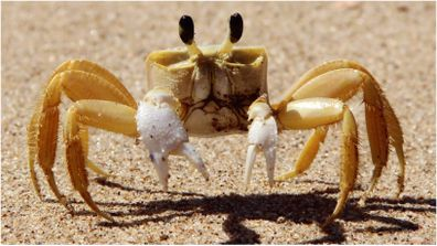 Scientists in the US have discovered a species of crab that uses teeth located inside its stomach to growl at enemies.