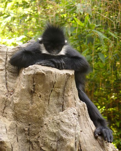 <strong>Francois' langur</strong>