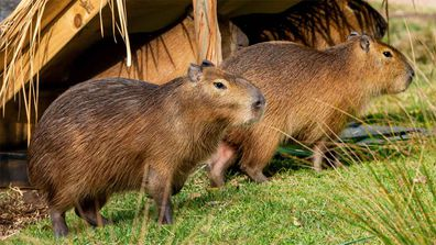 Capybaras are the world's largest rodents.