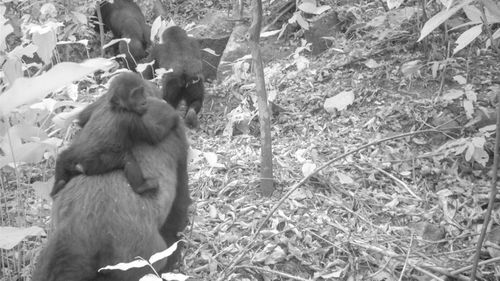 The Cross River gorilla was once feared to be extinct.
