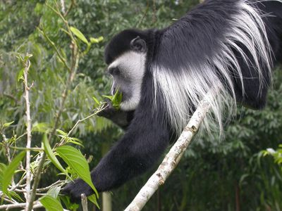 <strong>Mantled guereza</strong>