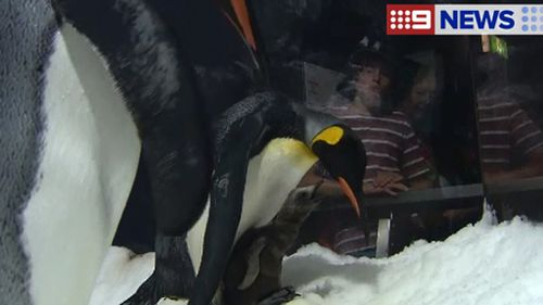 First king penguin hatched at Queensland theme park