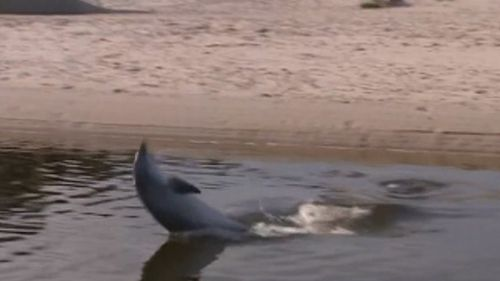 Adelaide dolphin